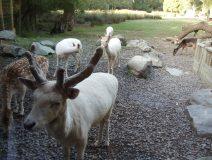 New-zeland-goat-maori